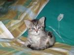 bellissimi gattini, siamesi, persiani e certosini.