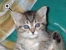 bellissimi gattini, siamesi, persiani e certosini. - Anteprima immagine 1